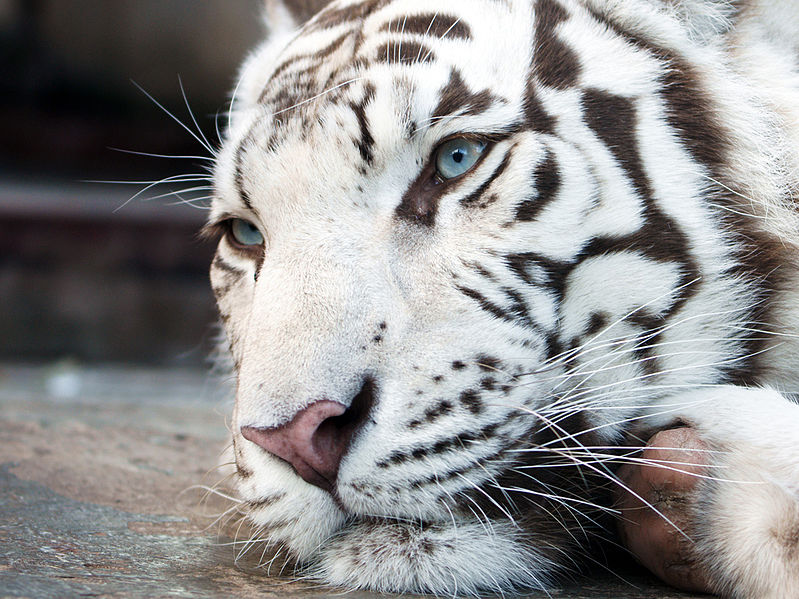 White tigers, not as natural as you might thing. Image credit: Irbis1983, Creative Commons