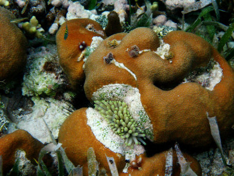 An anemone slowly destroying a scleractinian coral, a good example of what to avoid in the home aquarium.  Grassflats, Drowned Cayes, Belize.  Image by Mike Maddox