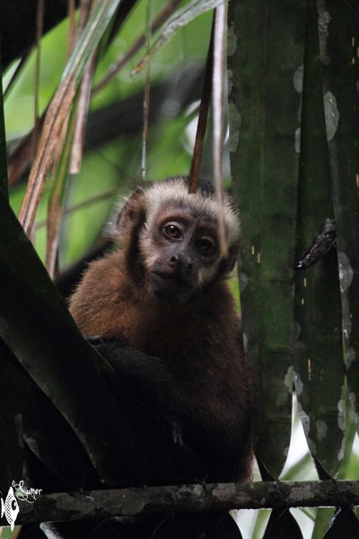 brown capuchin monkey (1) (Copy) (Copy)