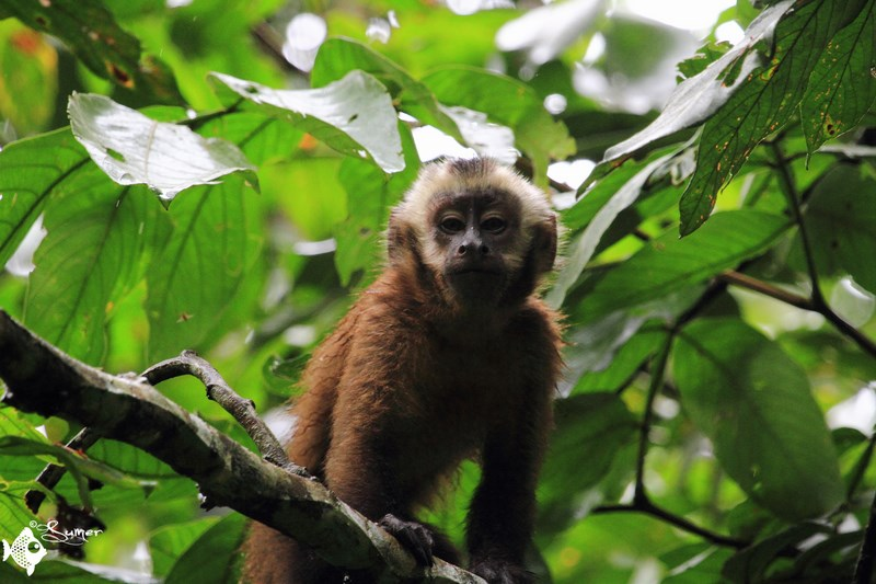 brown capuchin monkey (2) (Copy) (Copy)