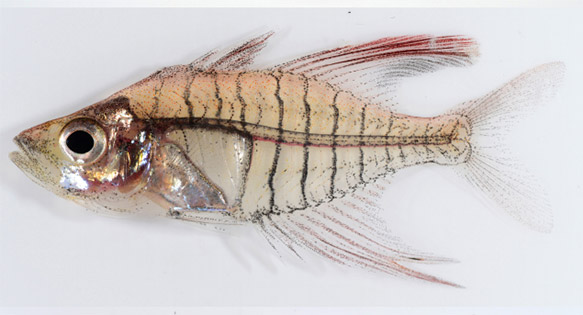 The male holotype of  Gymonochanda ploegi. The paper's authors noted that the split anal fin on the holotype was mechanical damage.