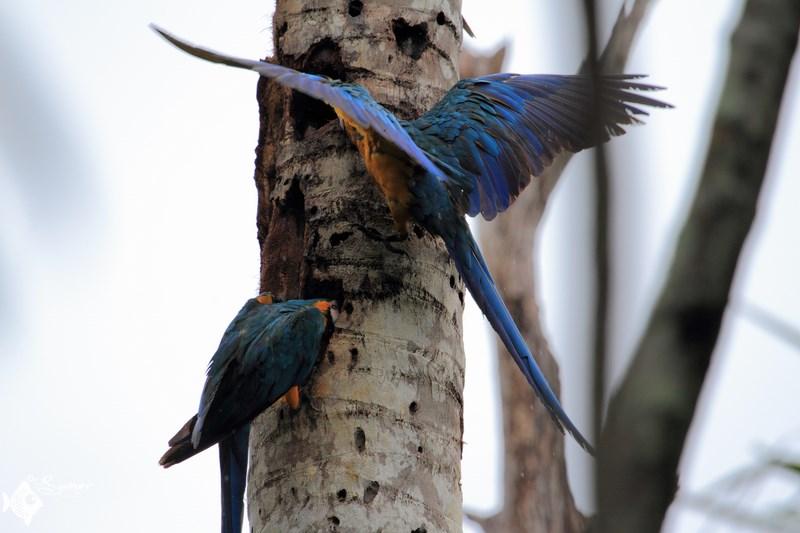 macaws (4) (Copy) (Copy)
