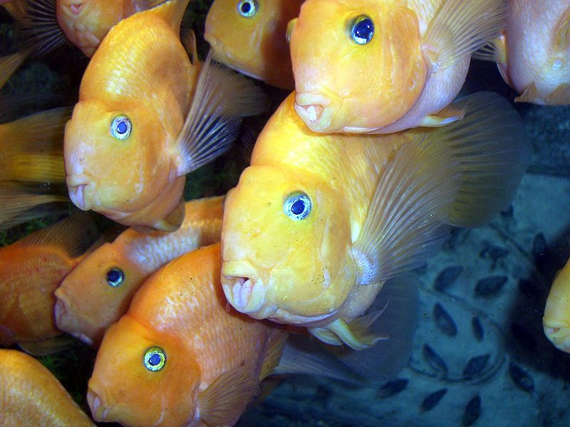 Parrot cichlids are a typical, man-made hybrid. Image credit: Shizhao, Creative Commons.