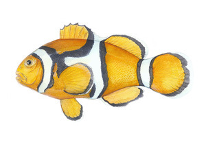 The orange or percula clownfish (Amphiprion percula) is one step closer to ESA listing today. [Illustration courtesy of Karen Talbot http://www.KarenTalbotArt.com)
