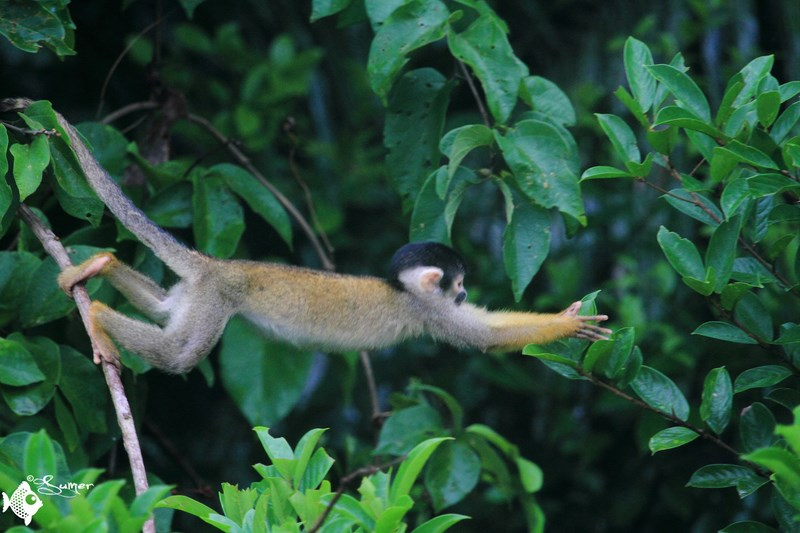 squirrel monkey (11) (Copy) (Copy)