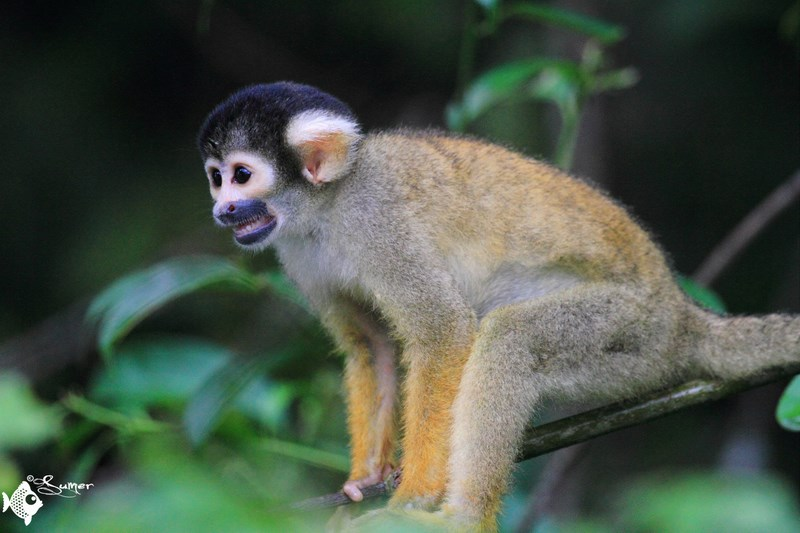 squirrel monkey (3) (Copy) (Copy)