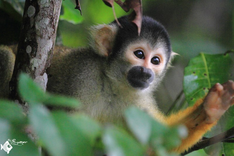 squirrel monkey (4) (Copy) (Copy)
