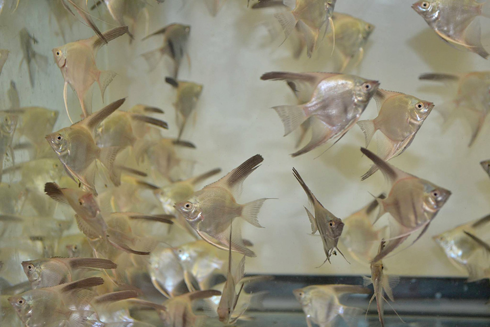Angelfish carrying the coveted Bulgarian Green genetic have finally arrived in the US.