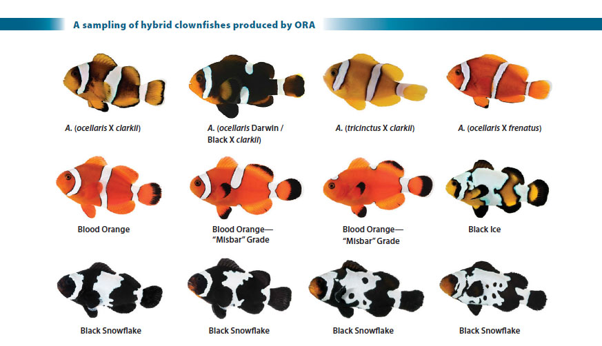 A sampling of various types of intraspecific, interspecific, and intergeneric clownfish hybrids produced by Oceans, Reefs & Aquariums (ORA) - see many many more in the full article.