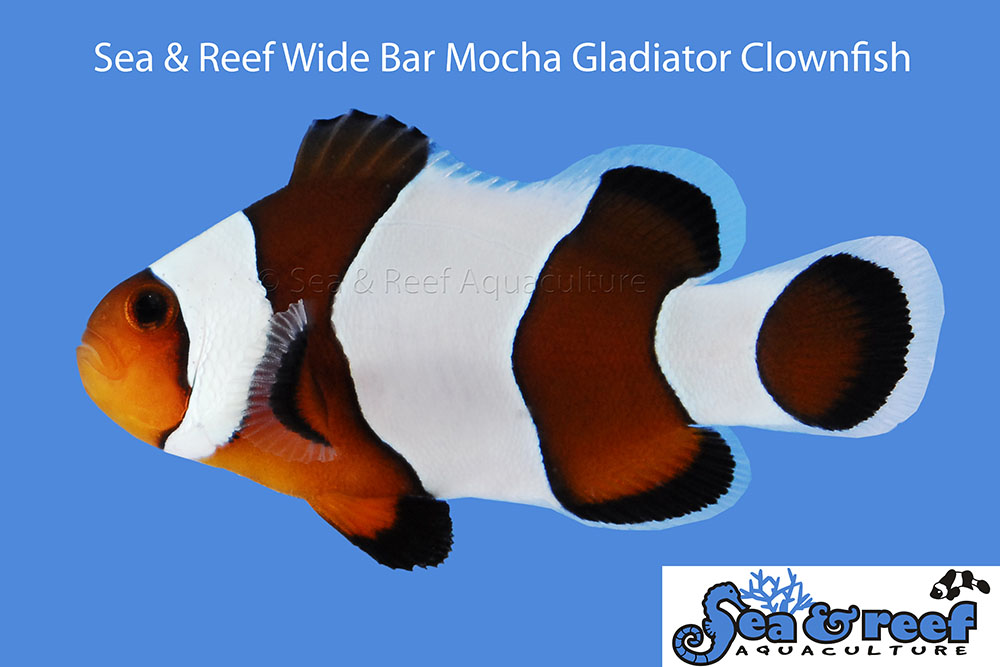 Sea & Reef's latest combination - Wide Bar Gladiator into the Mocha cross!