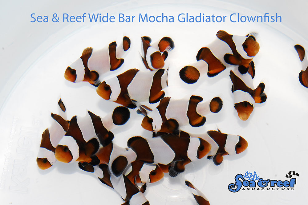 A group of the new Wide Bar Mocha Gladiator from Sea & Reef Aquaculture