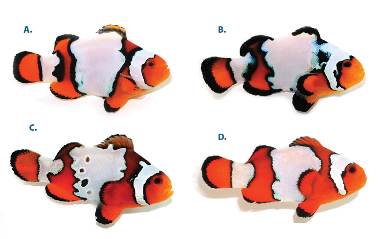 Pop Quiz! Can you tell which fishes are hybrids and which are pure species? Can you tell what each one is named just by looking? See answers on page 66 of the Sept/October 2014 issue of CORAL Magazine.