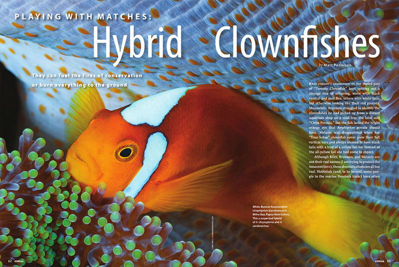 Playing With Matches: Hybrid Clownfishes - CORAL Magazine, September/October 2014
