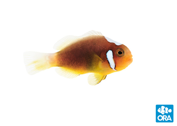 The first commercial scale availability of Amphiprion leucokranos, the White Bonnet Clownfish, comes via ORA.