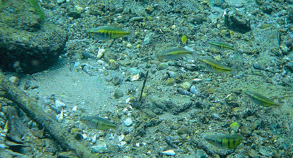 Female Boeseman's Rainbowfish in the wild - image courtesy Save Ayamaru Lakes / M. Salossa