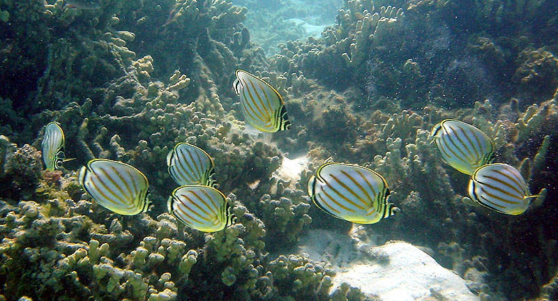 A shoal of Chaetodon ornatissimus, one of three Butterflyfish species now banned from collection in O'ahu, Hawaii.