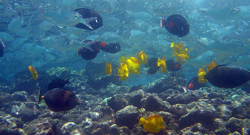 Naso, Yellow and Achilles Tangs, all fish collected in O'ahu that are now subject to new bag limits. The Yellow Tang is one of three species to also now be subjected to size-related limits or restrictions.