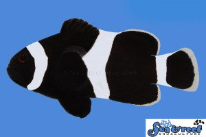 Sea & Reef Darwin (Black) Ocellaris Clownfish, one parent required for the new fish.
