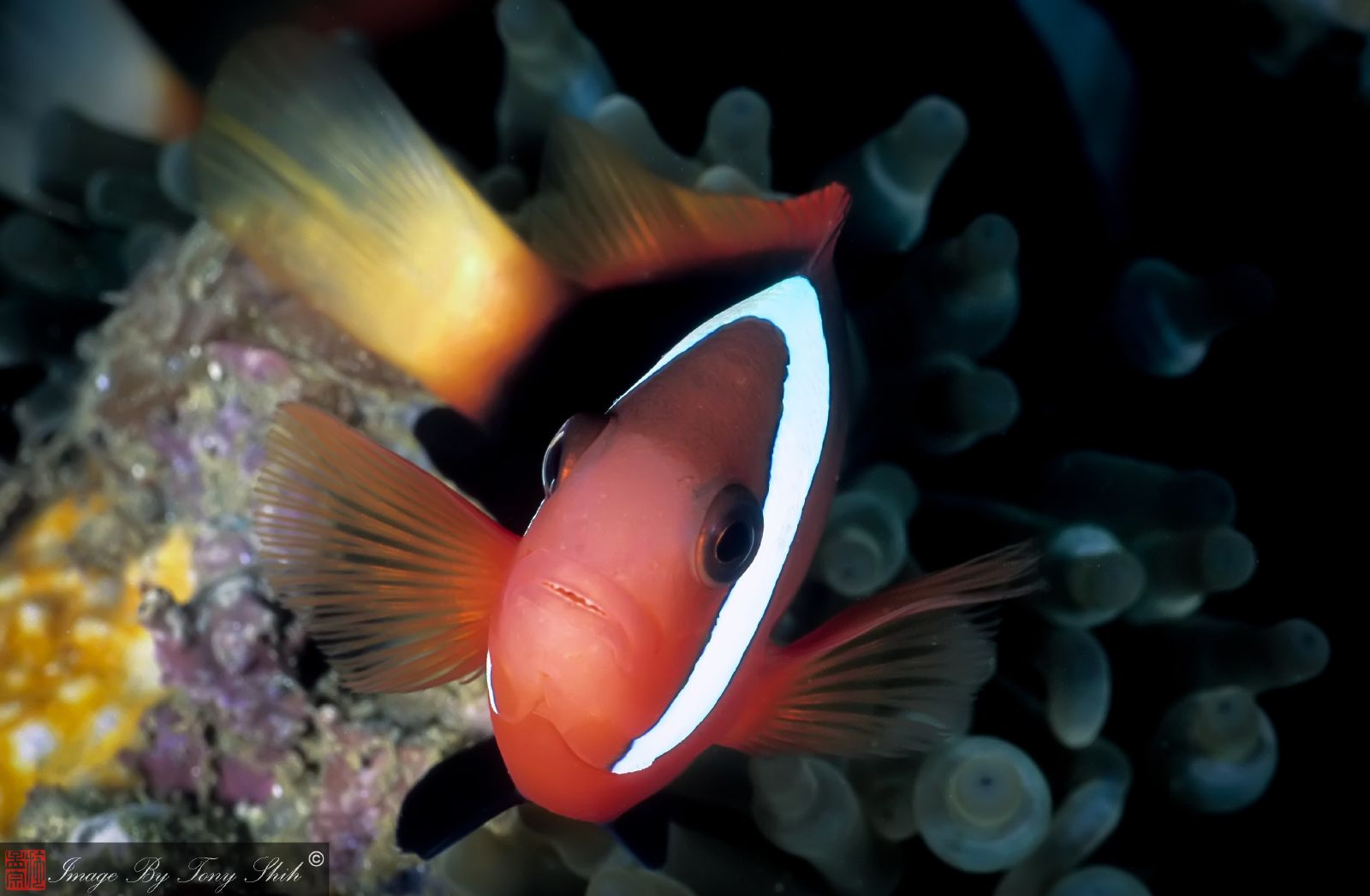 Amphiprion melanopus from Ambon, Maluku, Indonesia - image by Tony Shih - Flikr - Creative Commons BY-ND