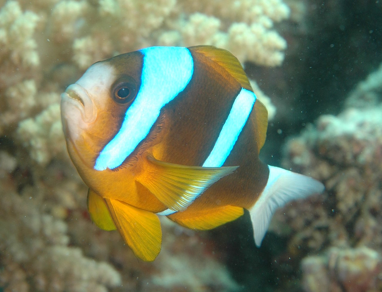 Amphiprion akyndinos on the Great Barrier Reef at Cairns, Australia - image by Leonard Low - Wikimedia / Creative Commons