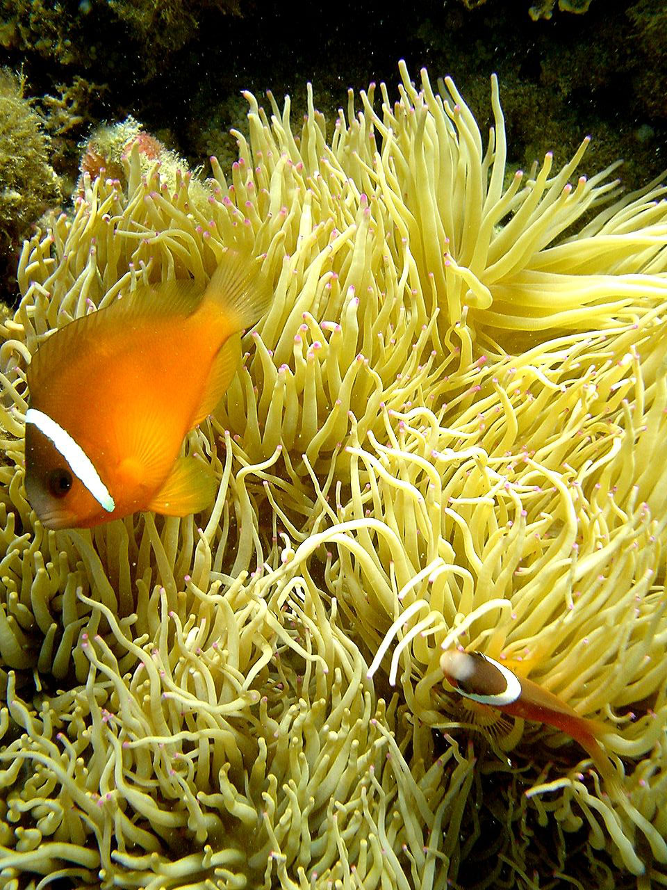 Amphiprion barberi in Fiji - photographed by Brocken Inaglory - Wikimedia / Creative Commons