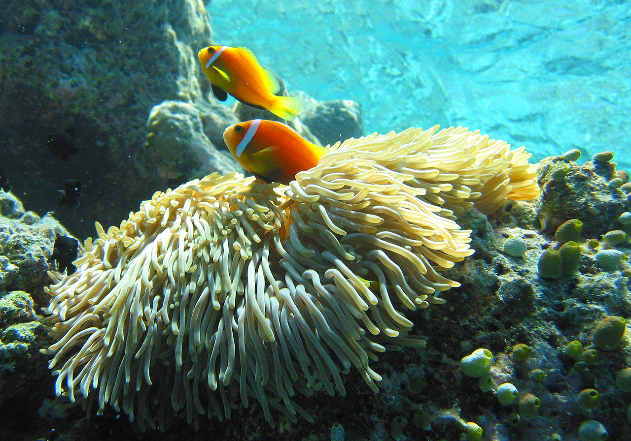 Amphiprion nigripes photographed March, 2006, in  Fihalhohi, Maldives - image by Jandrek - Wikimedia