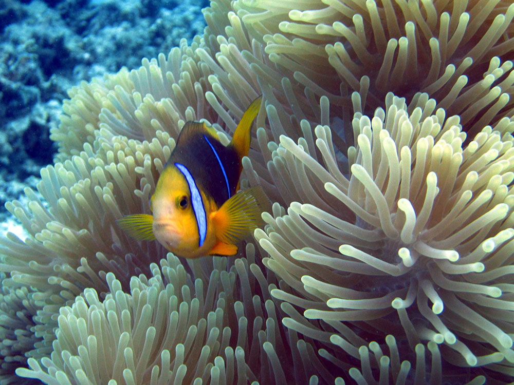 """Amphiprion chrysopterus in Tahiti demonstrates the """"narrow band"""" aspect of this unique group clustered at the far eastern edge of its range - Photo by MironCaro - Flickr 