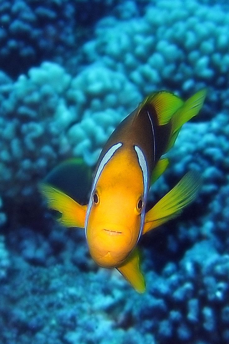 """Amphiprion chrysopterus in Bora Bora, the far eastern """"narrow band"""" group with Yellow Tails, and Yellow Fins, Narrow Bands and unconnected head stripes. Image by SF Brit - <a href=""""https://www.flickr.com/photos/cnbattson/3092364058/in/photolist-"""">Flickr</a> 