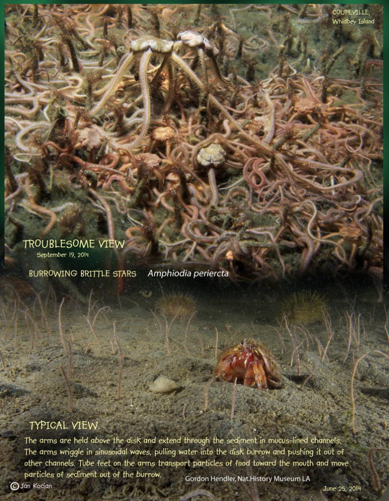 "Figure 1.  The habitat in a typical, ""healthy"" and normal view is shown at the bottom.  The dying or dead brittle stars are coming out of the habitat, probably to avoid the anoxia that occurred in the sediments."