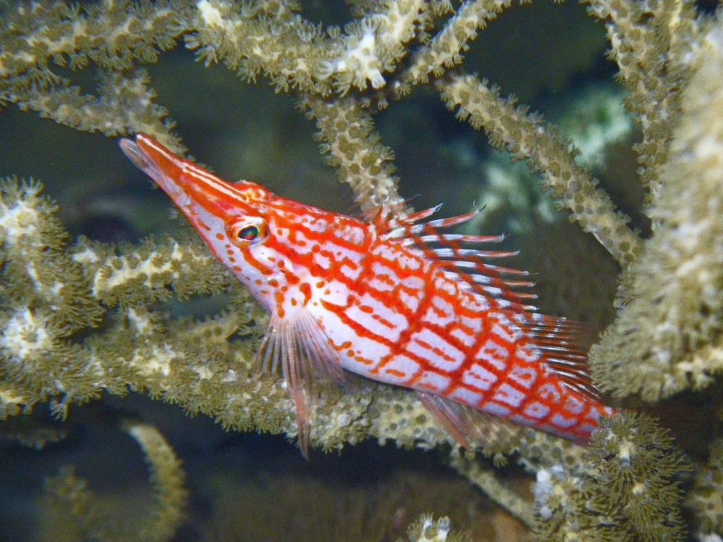 UW photo of a Longnose hawkfish balanced on a gorgonian
