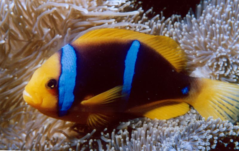Amphiprion chrysopterus at Guam, by Dave Burdik / NOAA