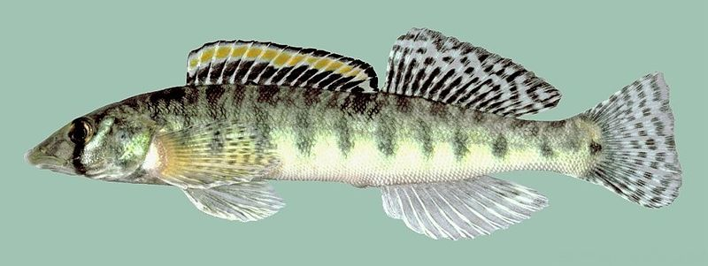 The endangered Roanoke Logperch, Percina rex - image by Noel Burkhead, USGS