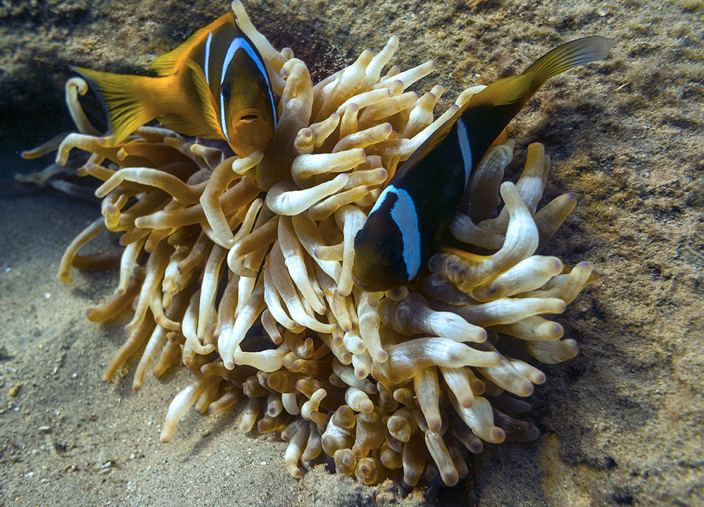Amphiprion bicinctus at Bannerfish Bay dive site, Dahab, Egypt - photo by Malcolm Browne - Creative Commons BY-ND