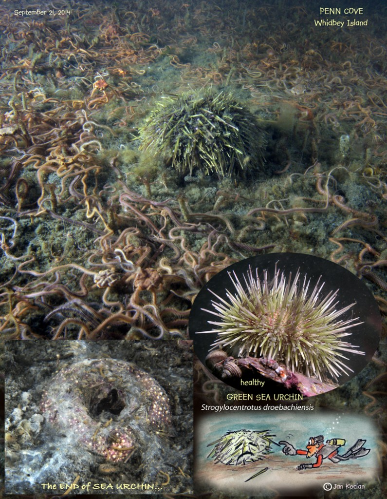 Dying Green Urchins and Brittle Stars