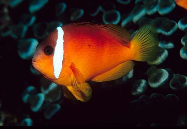 The Red Clownfish from Fiji (and Tonga) has gone by three different scientific names in 42 years. Image by Scott Michael