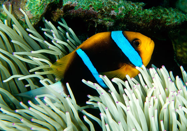 A. chrysopterus at Milne Bay, PNG - if you look through the anemone tentacles you can tell that the entire undercarriage of this fish, the anal and pelvic fins, are black. This is representative of the White Tail / Black Fins phenotype. Image by Scott Michael