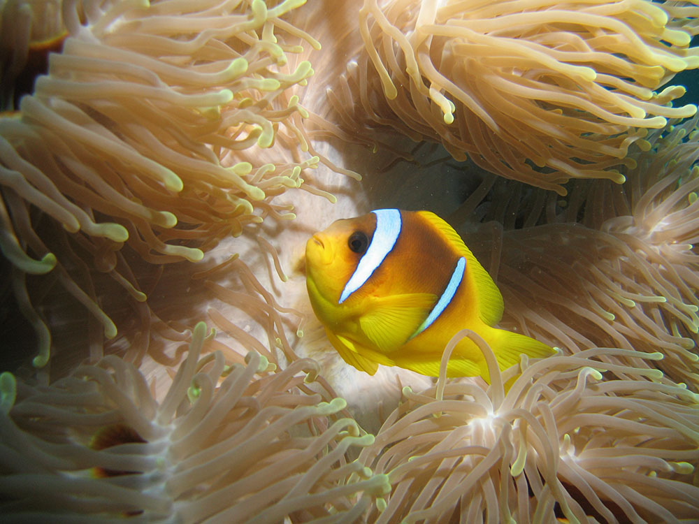 Amphiprion bicinctus near Marsa Alam, Egypt, by Magnus Kjaergaard - Wikimedia | Creative Commons BY-3.0