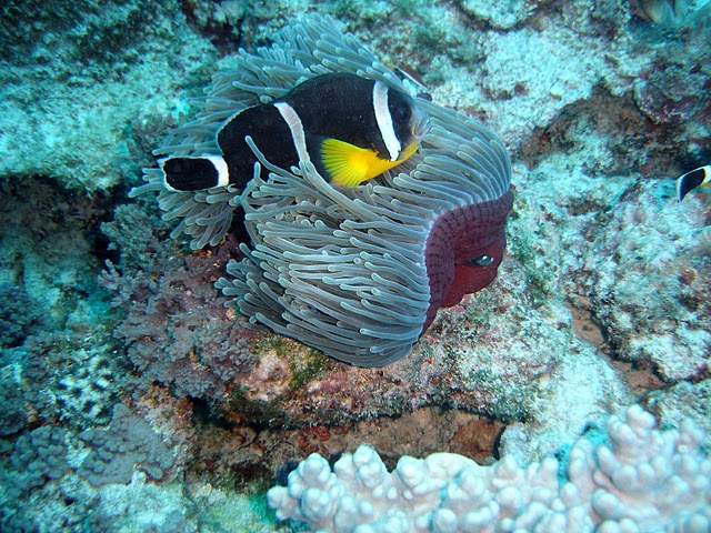"Amphiprion chrysogaster in the wild - Photo by ""Eric"" - Creative Commons / Wikimedia"