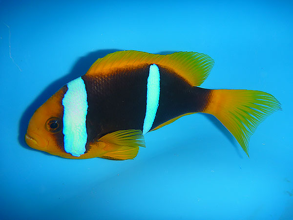 A. chrysopterus from Fiji, a good representative of the Yellow Tail, Yellow Fin phenotype - image by Cameron Bee / Walt Smith International