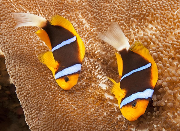 A. chrysopterus from Palau, as we opened this article with, is a good representation of the White Tail, Yellow Fin phenotype of Bluestriped Clownfish. Image by Subblefied Photography | Shutterstock