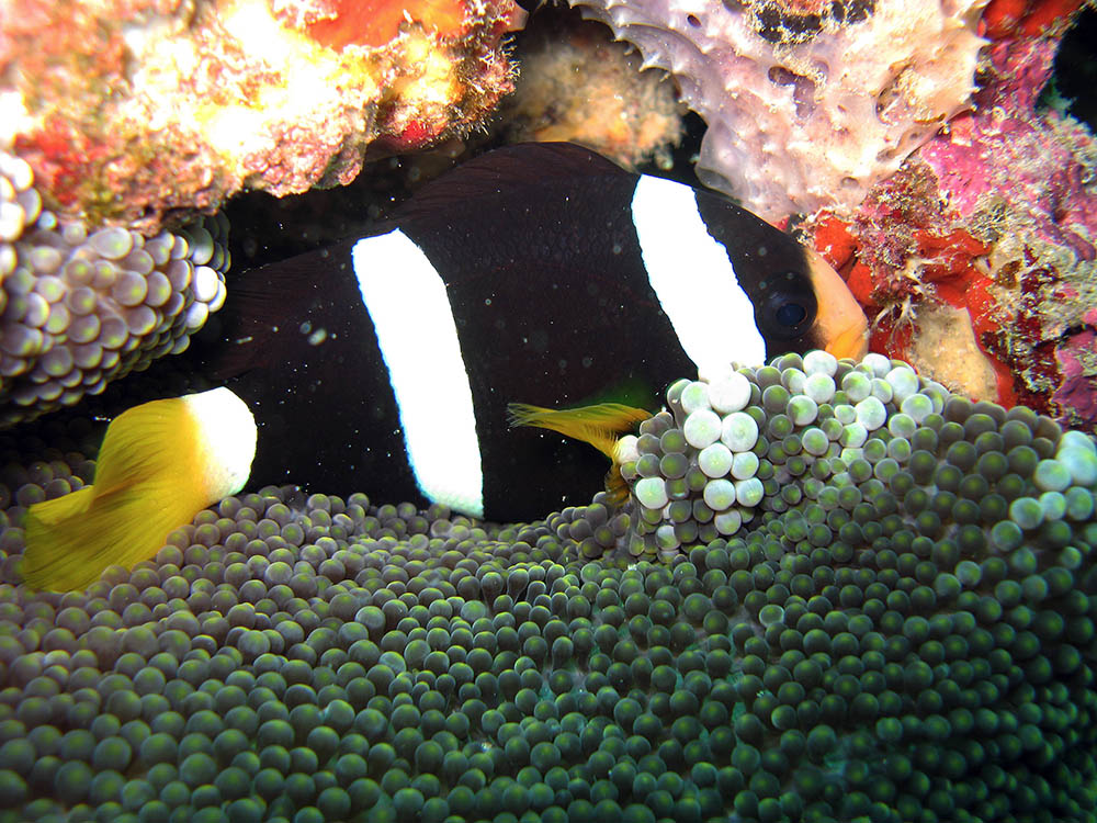 A. clarkii photographed in the Adaman Sea, Thailand, by Silke Baron - Wikimedia | Creative Commons