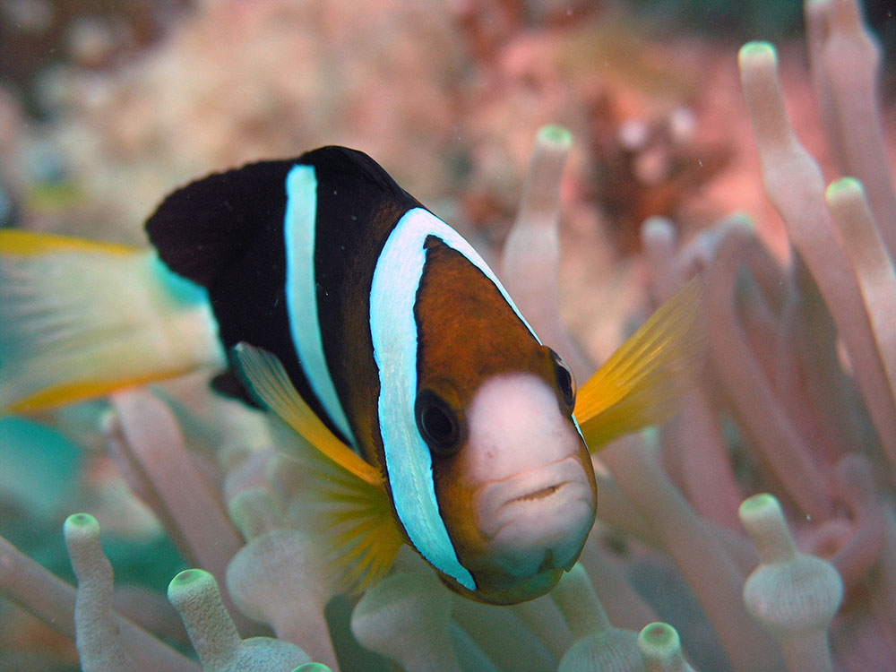 """Clark's anemonefish. Amphiprion clarkii, of Barros' Wallacea variety. Taken at Sipadan, Borneo, Malaysia, by Jens Petersen - <a href=""""http://commons.wikimedia.org/wiki/File:Amphiprion_clarkii_sipadan.jpg"""" target=""""_blank"""">Wikimedia</a> / <a href=""""http://creativecommons.org/licenses/by-sa/3.0/deed.en"""" target=""""_blank"""">Creative Commons</a>"""