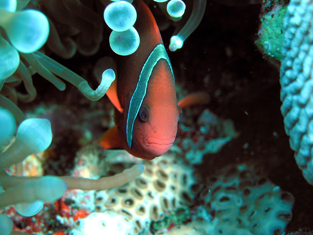 Amphiprion frenatus from Layang-Layang, South China Sea, showing a blue headstripe - image by Matthew Lee - Wikimedia | Creative Commons