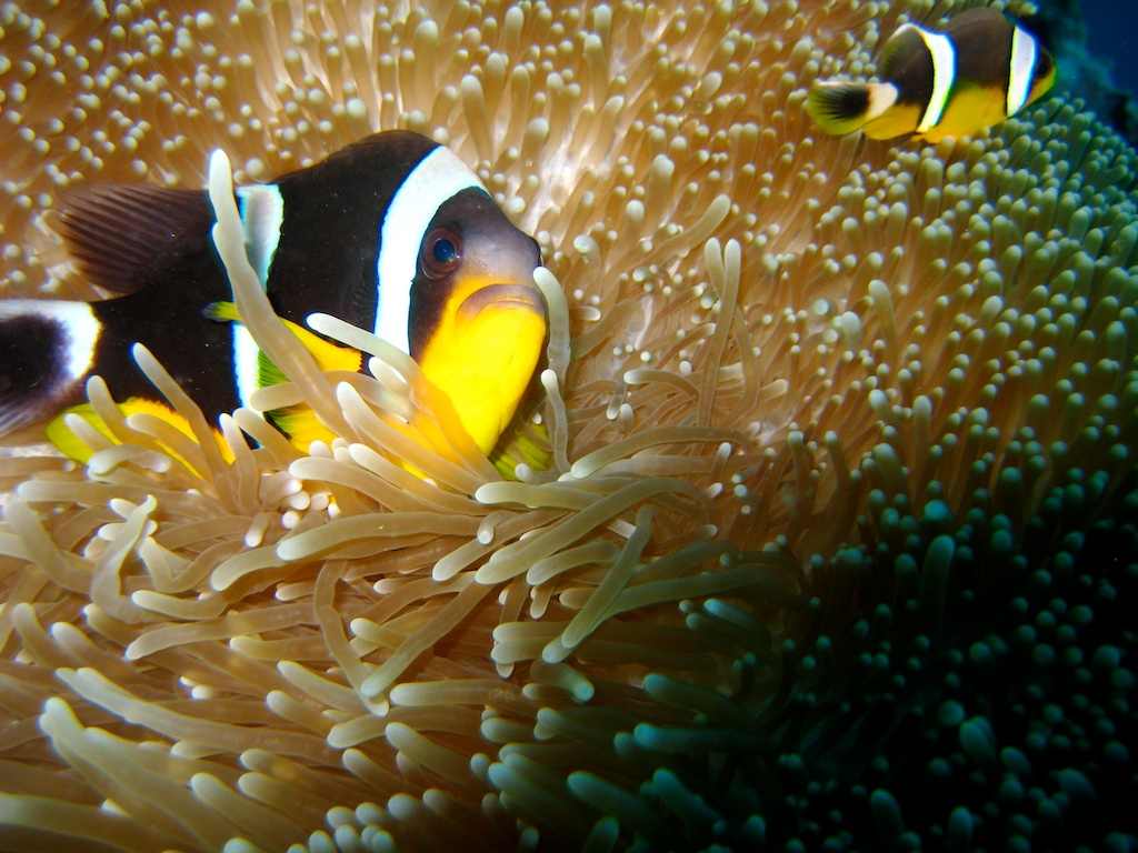 Amphiprion fuscocaudatus in the Seychelles - by Greg Tee - Wikimedia / Creative Commons