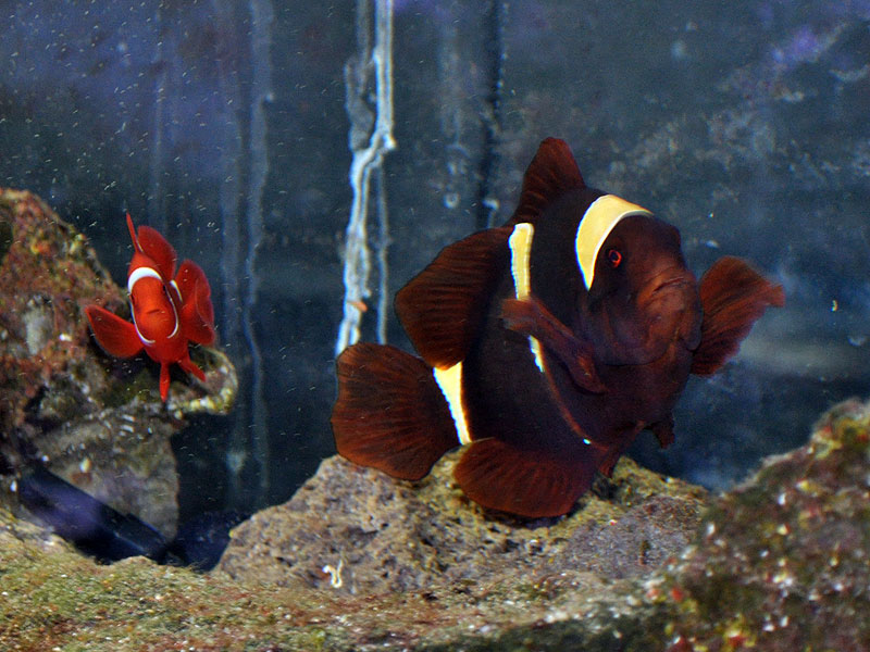 A young White Stripe Maroon, Premnas biaculeatus, from PNG is at left. A large adult female Gold Stripe Maroon, P. sp. epigrammatta, is at right.