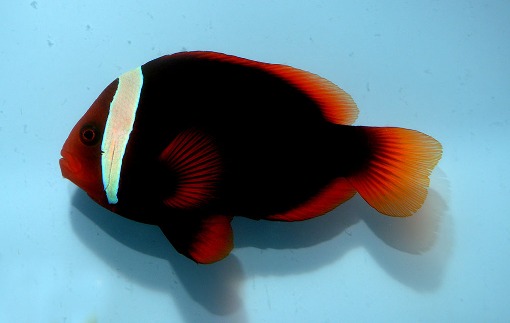 A large female Tomato Clownfish, A. frenatus, from the Philippines. Presumably, these large, dark females are part of the reason why confusion exists to this day between A. frenatus and A. melanopus  - image by Matt Pedersen