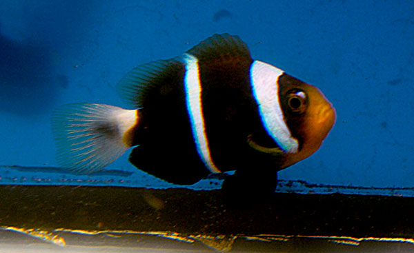 """This captive-bred juvenile of Amphiprion chrysopterus """"Irian Jaya"""" is proving to be a winner in terms of aquarium suitability - by Matt Pedersen"""