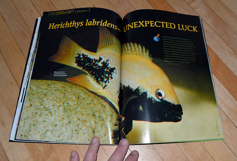 """Herichthys labridens—UNEXPECTED LUCK"" by Thorsten Grigo, shares the story of overcoming adversity in the genus to find success with this species."