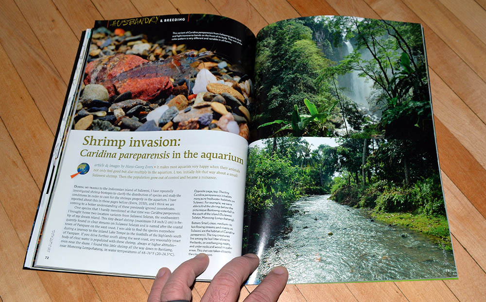 """Shrimp invasion: Caridina pareparensis in the aquarium"" by Hans-Georg Evers, looks at these seemingly desirable shrimp reaching epidemic proportions and actually becoming pests in the fishroom."