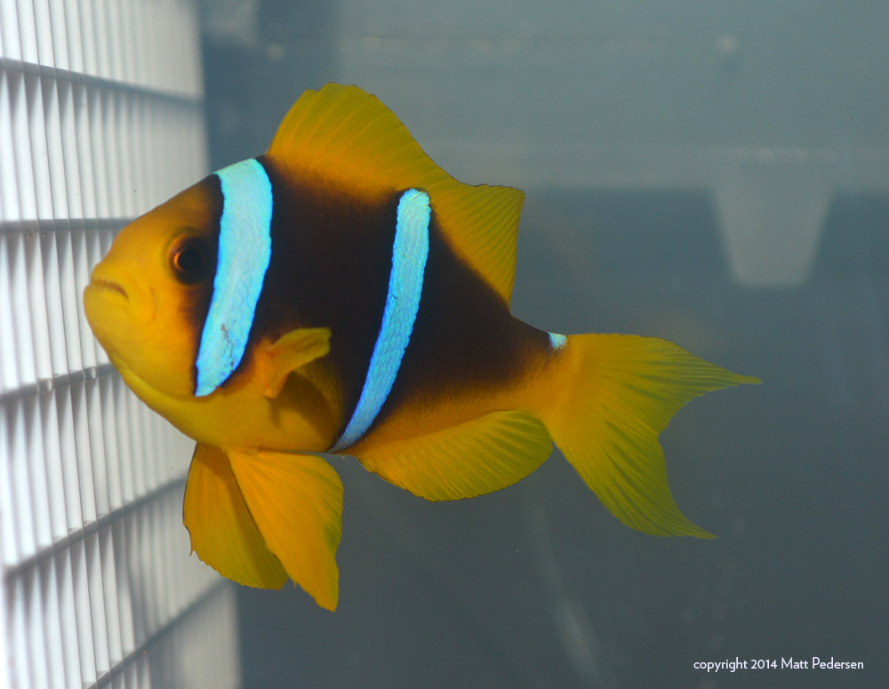 Amphiprion chrysopterus from Fiji, an example of the Yellow-tailed, Yellow-finned phenotype. Image by Matt Pedersen
